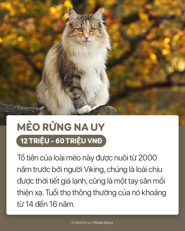 Mèo Na Uy được các thủy thủ nuôi dưỡng trên những con tàu nhằm mục đích săn bắt những loài gặm nhấm. Về sau chúng được nhân giống và nuôi phổ biến ở các nước châu Âu. Đến năm 1977, mèo Na Uy được Hiệp hội mèo quốc tế công nhận.