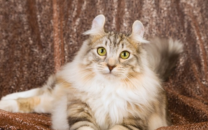 Mèo vốn là loài động vật gắn bó với con người từ hàng ngàn năm. Ngày nay có những giống mèo đáng giá cả một gia tài, được xếp vào những giống mèo đắt đỏ nhất thế giới.