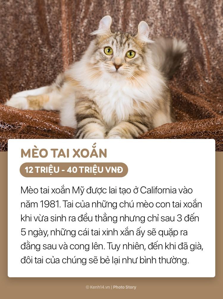 Giống Mèo Mỹ tai xoắn được toàn thế giới ngưỡng mộ nhờ đôi tai xoắn sang trọng với những sợi lông dài xù ra từ tai. Thêm nữa, giống mèo này chăm sóc con cái rất tốt, từ khi lũ mèo con được sinh ra cho đến khi trưởng thành.