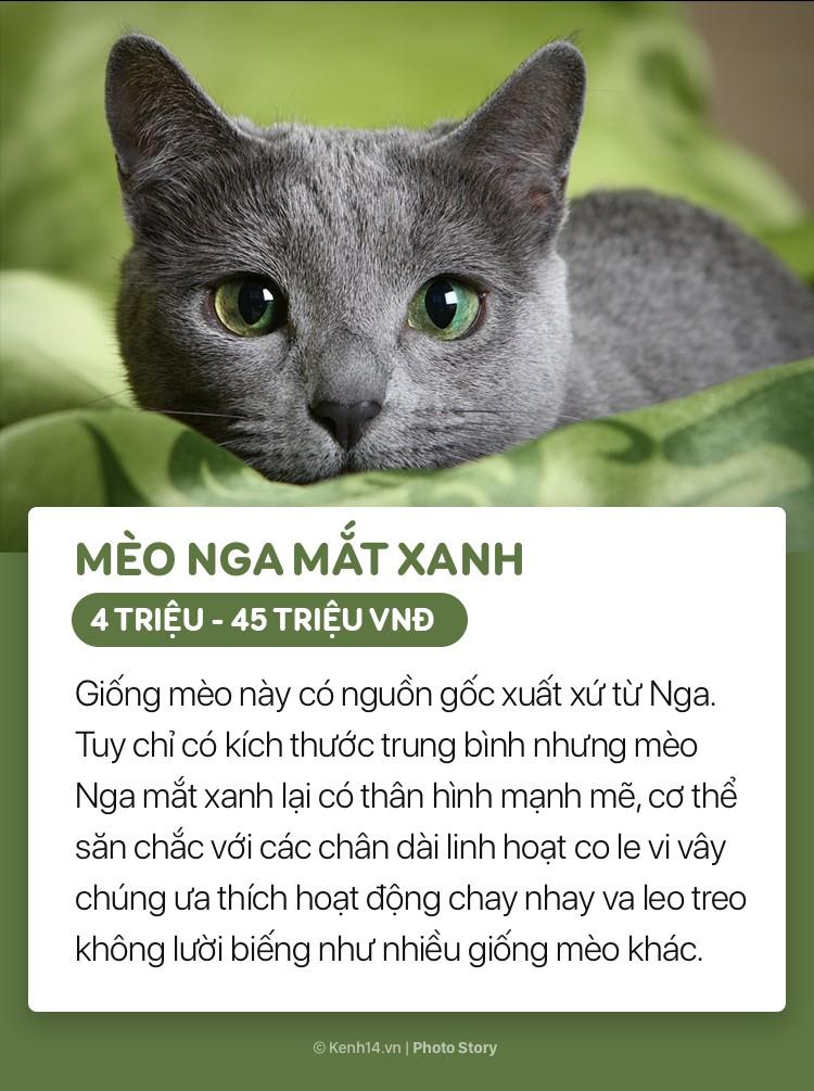 Mèo Nga mắt xanh thu hút nhờ đôi mắt xanh biêng biếc, hút hồn. Chúng được nhân giống rộng rãi, trở nên nổi tiếng khắp nơi và được hiệp hội mèo thế giới công nhận vào năm 1800.