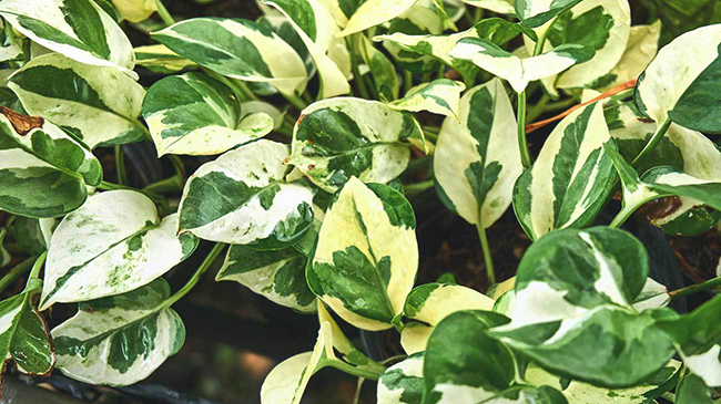 Tại sao nhà khoa học Mỹ khuyên mỗi gia đình nên có ít nhất 1 chậu cây trầu bà trong nhà?