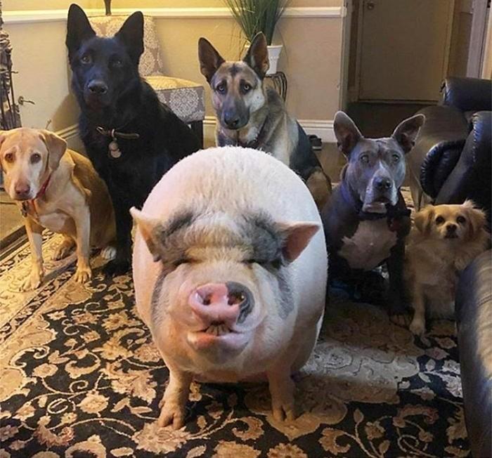 1. Chú lợn Chowder: Chú được bà Helby Madere ở bang California, Mỹ giải cứu khỏi lò mổ khi chú mới 4 tháng tuổi.