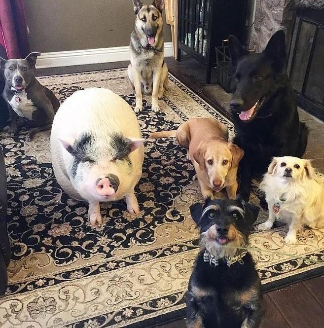 Chowder nay đã 5 tuổi và cực mũm mĩm đáng yêu. Việc sống cùng chủ nhân Helby và 4 chú chó cứu hộ của bà khiến Chowder luôn tưởng mình là một chú chó.