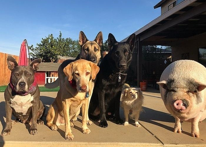 """Mỗi lần chụp hình """"gia đình"""" là bầy chó không thể thiếu được chú heo đáng yêu này."""