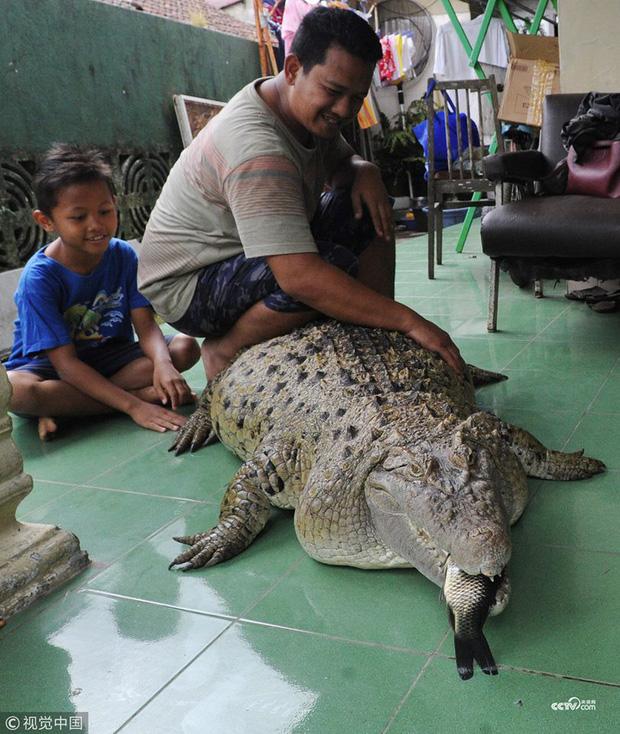 4. Cá sấu Kojek: Chú cá sấu dài 1m8 này đã chung sống hòa thuận với gia đình một người dân Indonesia suốt hơn 20 năm nay.