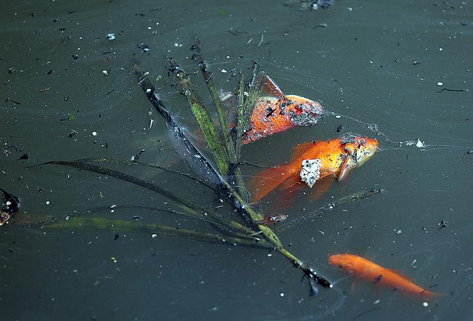 """Người Hà Nội """"phóng tử"""" cá chép ở sông Tô Lịch, bắt cá chép """"quay đầu"""" ở Cầu Diễn"""