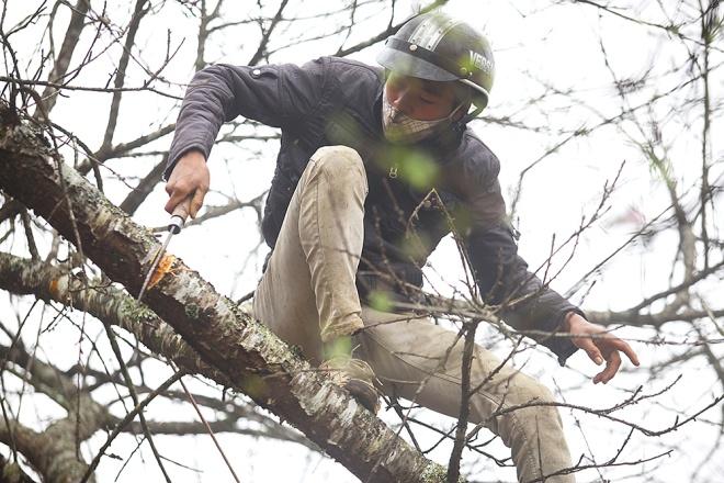 Một người dân Tây Bắc chặt cành đào rừng to.