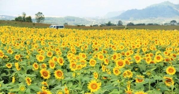 Nghệ An lên kế hoạch tổ chức Ngày hội hoa hướng dương