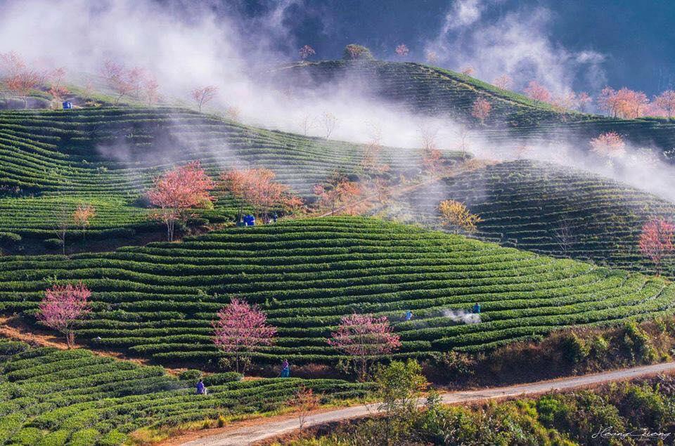 Mùa hoa anh đào, vẽ đường tới đồi chè Ô Long đẹp nhất Sapa những ngày cuối năm