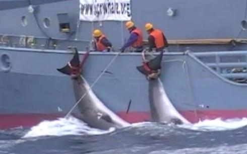 Nhật Bản tuyên bố chính thức rút khỏi Ủy ban Đánh bắt cá voi quốc tế, điều gì sẽ xảy ra?