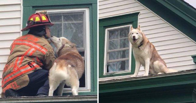 """Tan chảy trước khoảnh khắc chú chó Husky """"hôn"""" ân nhân cứu mình thoát khỏi mái nhà"""
