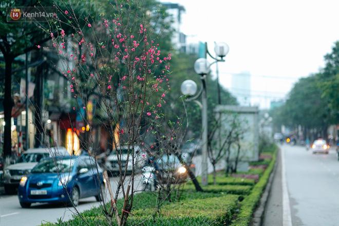 Lạc Long Quân, con đường nằm khép mình bên hồ Tây dịu dàng, được coi là tuyến phố trồng hoa đào dài nhất Hà Nội tính đến thời điểm này. Từ đào bích, đào phai, cây thấp cây cao đều đang nở rộ.