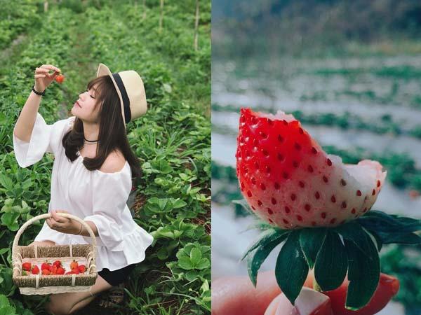 """Đừng thèm nữa vì Hà Nội đã có vườn dâu tây trái đỏ chín mọng cận Tết cho các """"tín đồ"""" rồi đây"""