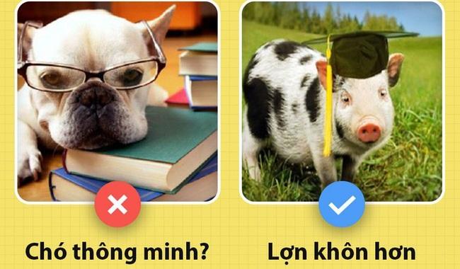 """Nhân năm """"lợn vàng"""" chợt nhận ra con người đang hiểu lầm loài lợn sâu sắc đến thế này"""
