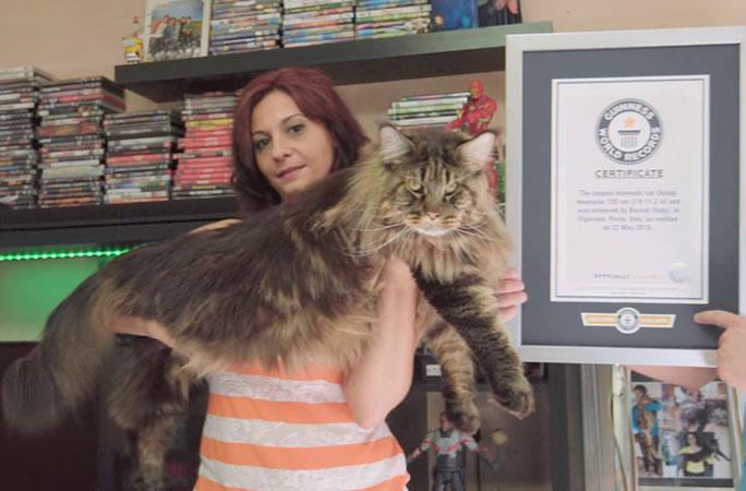 """""""Boss"""" mèo dài 1m2 xác lập Kỷ lục Guinness, đạt danh hiệu """"Chú mèo nhà dài nhất"""" thế giới"""