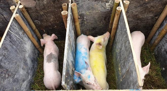 Chào mừng năm lợn với màn đua lợn vô cùng độc đáo, vui nhộn trong ngày hội xuân