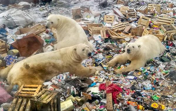 Hình ảnh gấu Bắc Cực bới rác kiếm ăn trong khu dân cư báo động tình trạng ô nhiễm môi trường đã quá giới hạn