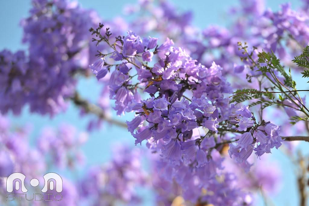 1114 20190312170140 - Chiêm ngưỡng mùa phượng tím đẹp lụi tim tại Đà Lạt