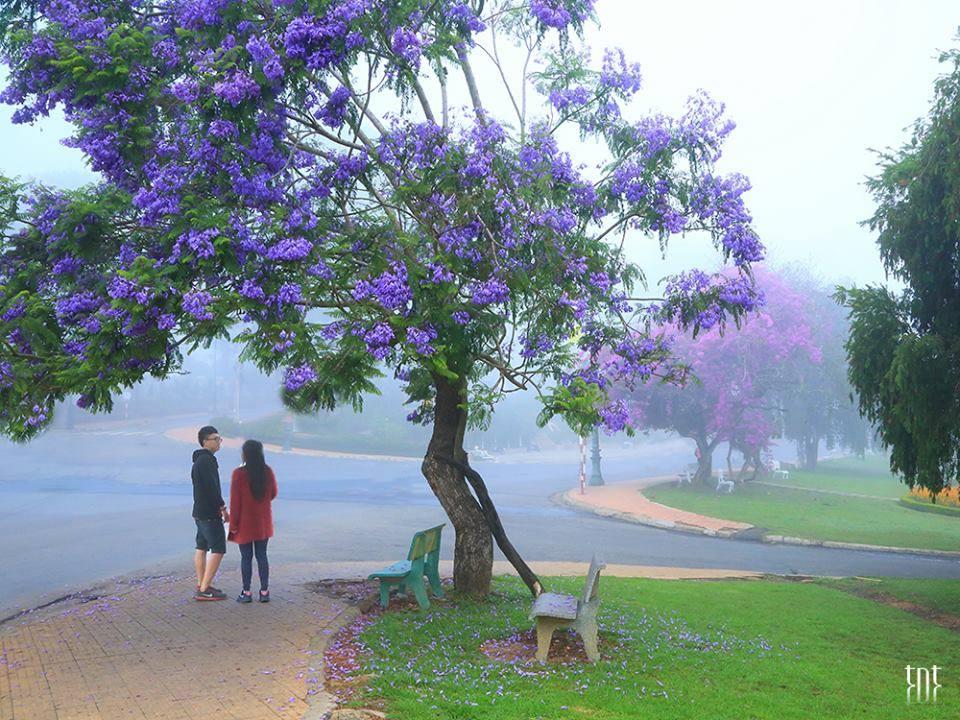 1119 20190312170140 - Chiêm ngưỡng mùa phượng tím đẹp lụi tim tại Đà Lạt