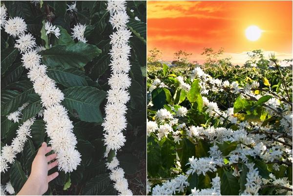 """Mùa hoa cafe nở, Tây Nguyên đẹp như một bản tình ca """"tuyết trắng"""" giữa mùa xuân"""