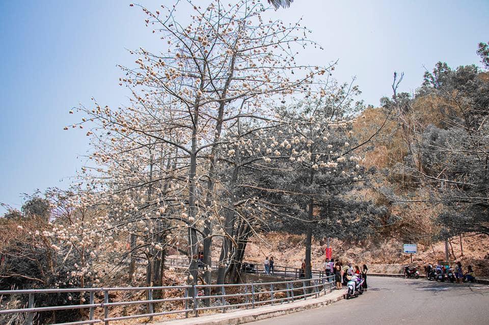 """Check-in """"quên lối về"""" trên con đường hoa Bông Gòn nở trắng trời ngỡ tuyết rơi giữa mùa hè"""