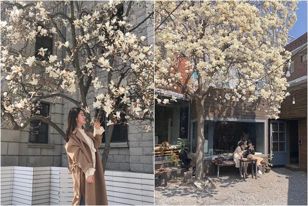 Không phải anh đào, hoa mộc lan mới chính là loài hoa đang vào độ bung nở đẹp nhất tại Seoul tháng 4 này