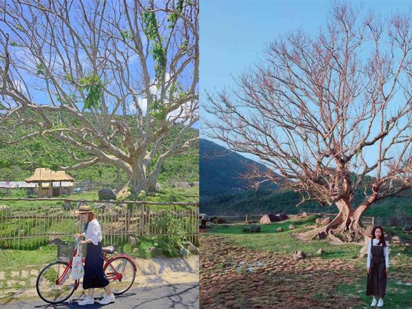 """Check-in """"mỏi tay"""" cây sung 100 tuổi đẹp như poster phim Hàn ở Phú Yên"""
