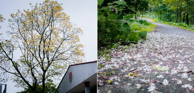 Muốn ngắm hoa trầu rụng nơi rừng thực nghiệm siêu lãng mạn, đăng ký vào ĐH Lâm nghiệp Hà Nội ngay