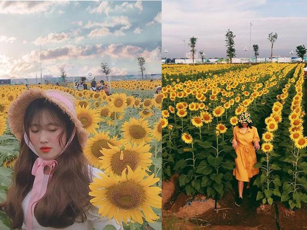 Đứng ngồi không yên trước Cánh đồng hoa hướng dương rộng 18.000m2 đang nở rộ ở ngoại ô Sài Gòn