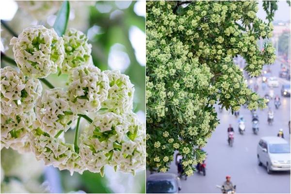 Mùa hè Hà Nội năm nay thật lạ lùng, giữa tháng 5 hoa sữa của mùa thu đã nở từng bừng