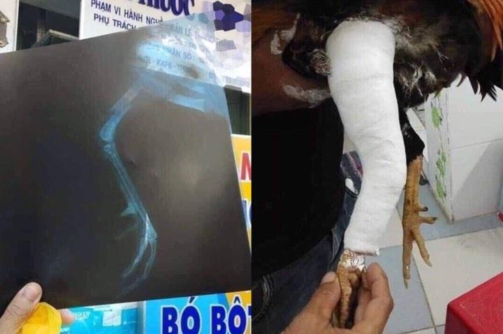 Thanh niên có tâm nhất năm: Mua gà chọi về đá, xong trận bị chấn thương liền đưa vào viện băng bó