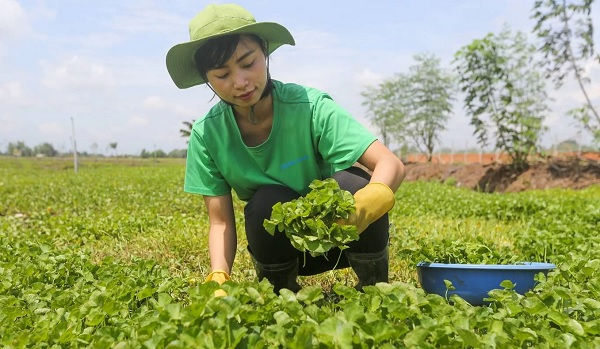 Thu 4 tỷ đồng mỗi năm nhờ trồng rau má nghiền lấy bột
