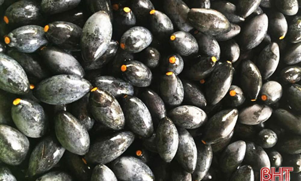 Trám đen - đặc sản miền núi Hà Tĩnh được săn lùng tận vườn nhờ công dụng tuyệt vời