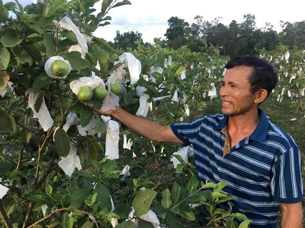 Nghệ An: Nông dân Đô Lương thu nhập cao từ ổi lê Đài Loan trồng trên đất xấu