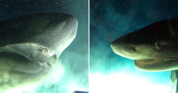 Nhà nghiên cứu chạm trán cá mập 6 mang khổng lồ to hơn cả tàu ngầm
