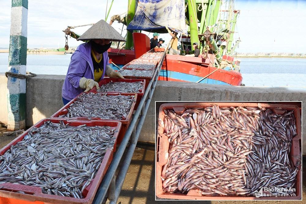 Vươn khơi sao bão, ngư dân Hoàng Mai trúng đậm cá trỏng, lãi hàng trăm triệu đồng