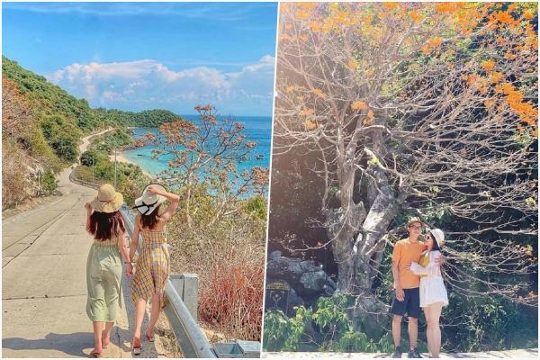 """Mùa hoa """"ngô đồng"""" đẹp tới xao xuyến con tim trên xứ đảo Cù Lao Chàm"""