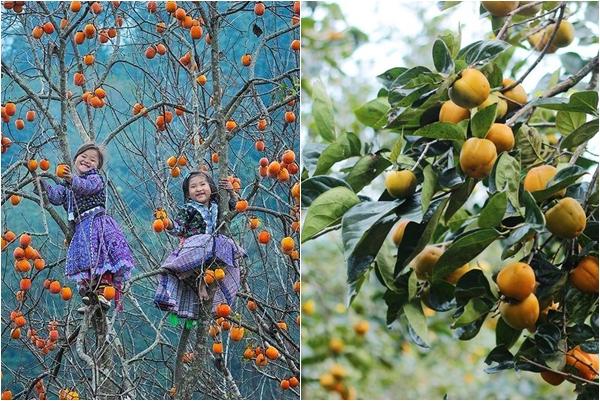 Thu sang thổn thức trước mùa hồng giòn trĩu quả ở xứ cao nguyên Mộc Châu