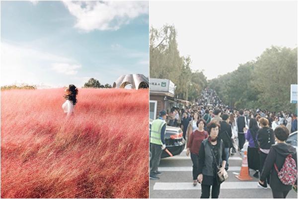 Đời không như mơ: Cứ nhìn đồi cỏ hồng Hàn Quốc trong ảnh và thực tế là biết
