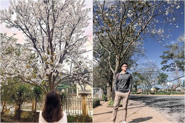 """Nhuộm newfeed đẹp như """"ở Hàn"""" với mùa hoa ban trắng Đà Lạt dịp lập đông"""