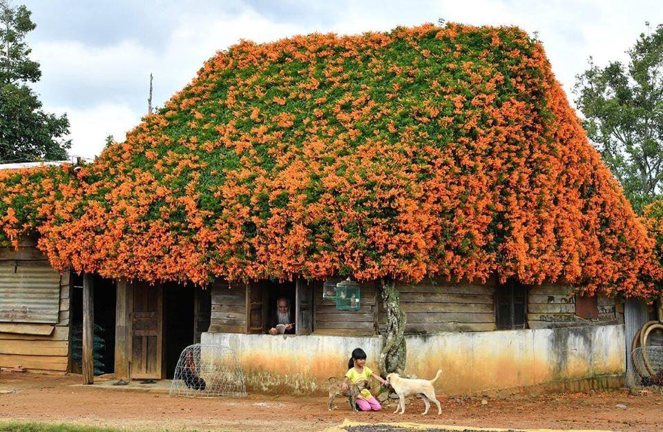 """Ngôi nhà mái Hoa Chùm Ớt """"đỏ rực"""" cả một khoảng trời khiến ai cũng phải ghé khi đến Đà Lạt"""