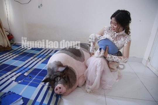 Heo cảnh nặng 160 kg ngủ ngon trong đám cưới của cô chủ