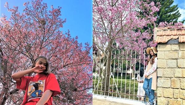 Mùa mai anh đào Đà Lạt tới sớm, cả một khoảng trời được phủ hồng sắc hoa