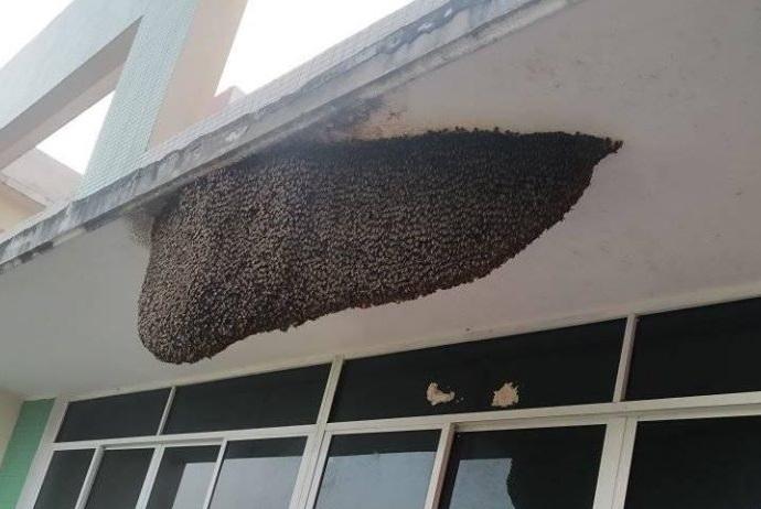 """""""Sởn da gà"""" với tổ ong khổng lồ ở trường học: Nhìn cũng vui đấy nhưng cẩn thận có ngày bị đốt"""