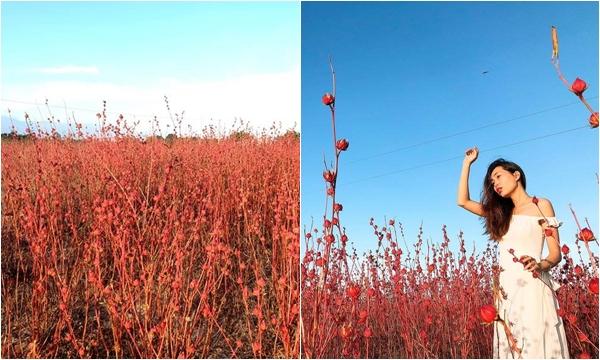 Lùng ra tọa độ Cánh đồng hoa atiso đang nở đỏ rực cả góc trời Ninh Thuận