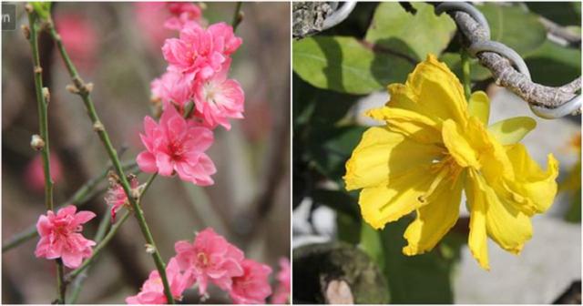 Ngày Tết chơi hoa đào hay hoa mai? - Phía sau lý do chơi hoa của người dân Bắc - Nam dịp Tết