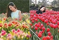 Xuất hiện vườn hoa Tulip sát xịt Hà Nội,