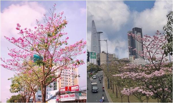 Hóa ra Sài Gòn cũng có một mùa hoa kèn hồng nở rợp trời vừa đẹp vừa thơ tới vậy