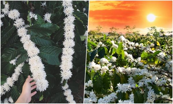 Lên Tây Nguyên ngắm mùa hoa cà phê nở giữa trời đẹp như bản tình ca tuyết trắng