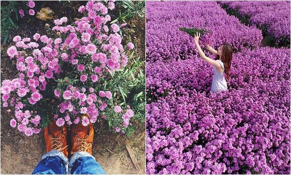 Lịm tim trước vườn hoa thạch thảo đang nở rực cả một trời tím mộng mơ ở Bà Rịa
